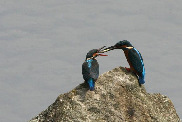 写真: 090506カワセミの求愛給餌(4/10)