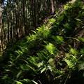 煌めくシダの葉
