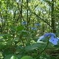 源流の森に紫陽花も