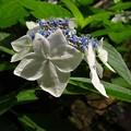 写真: 「額紫陽花・・・・・」 ・・・・
