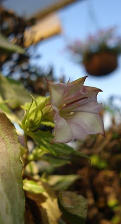 斑入り葉の蔓リンドウが咲き始めた♪