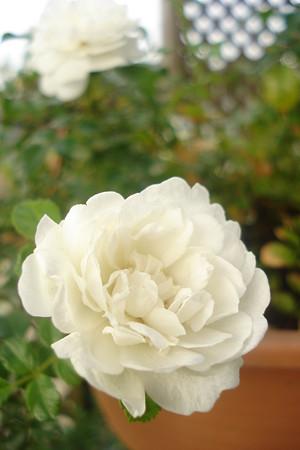 涼しげに…夏の薔薇♪