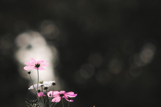 Photos: 光る秋桜