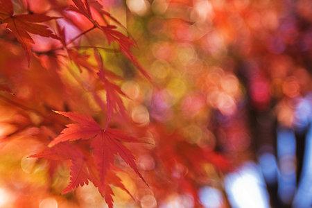 紅葉のクリスマスツリー