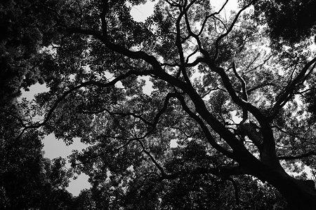 歴史を見た木