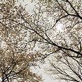 写真: 暗闇桜