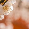 Photos: 天満宮の梅
