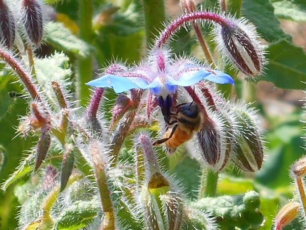 さわやかブルーなブルーボリジの花とみつばち♪