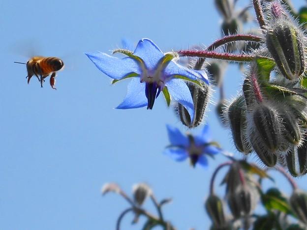 いずこへ??飛び去るミツバチ君♪