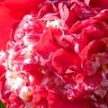 レアな椿の花 in 千光寺山