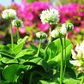 写真: クローバーの花 in  しまなみ球場前
