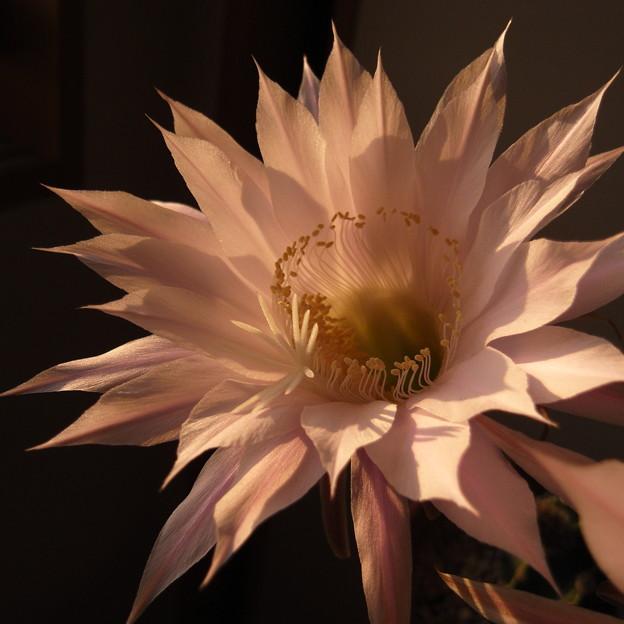 サボテンの花 - 1