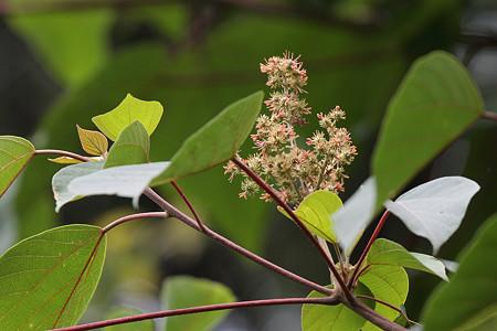 アカメガシワ(赤芽槲)の雌花