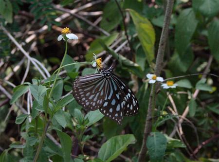 津堅島の蝶