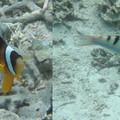 Photos: クマノミと派手な魚と・・
