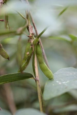 ツルマメの豆