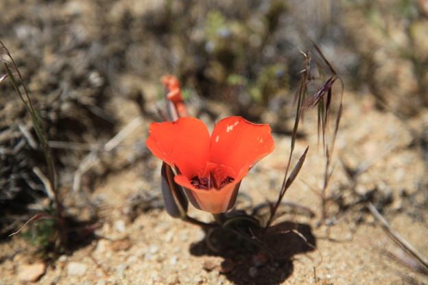 砂漠マリポーサリリー (1)