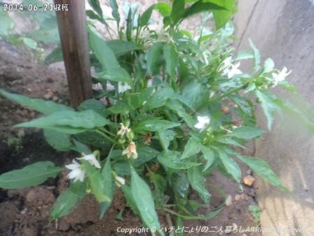 2014‐06-23収穫 (4)