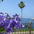 ジャカランダの花と日南海岸