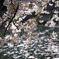 写真: 袋井用水の春2
