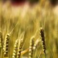 ~麦の秋~