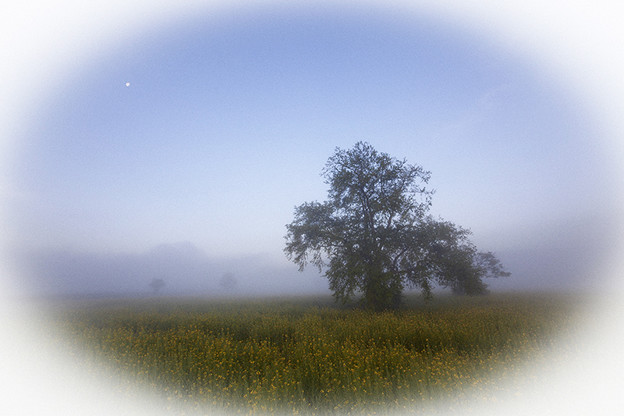 霧の菜の花畑