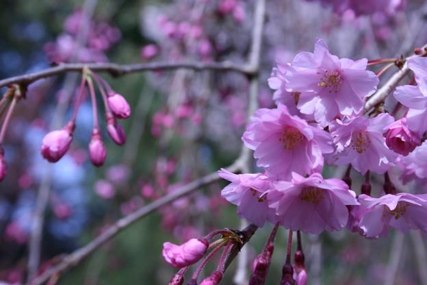 伏見桃山の桜1