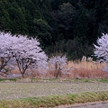 Photos: 能勢の桜
