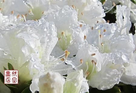 白い花03