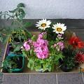 写真: 140501-8 ミニトマトと花の苗