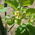 Photos: 140519-3 スウィートジュエリーの花と実