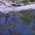 桜散る健民公園 池