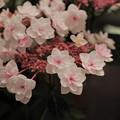 ピンクの八重ガクアジサイ(2)