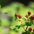 ヒペリカムの実&蜂