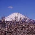 大雪の後の晴天の真っ白になった富士山・・曽我梅林にて