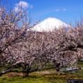 大雪降った翌日の真っ白な富士山と白く咲きつつ曽我梅林の梅・・