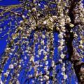 曽我梅林の黄色い枝垂れ黄梅・・