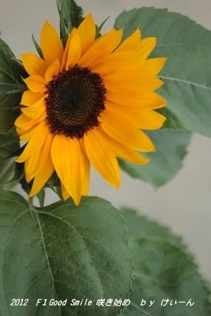 2012 ミニひまわりの咲き始め・・・今年のアングル