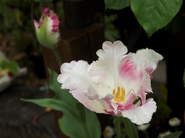 tulipKoigokoro_DSC18670