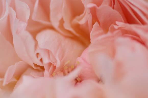 花びらの中に埋もれていたシベもみえてきた!