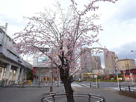 南千住・ドナウ広場のエドヒガン桜(2008/3/11)