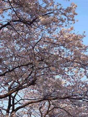都営南千住二丁目アパート前の桜(2009/4)