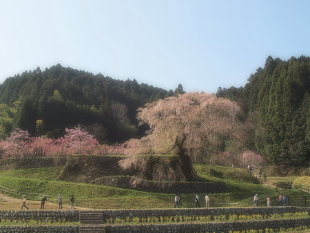 003_又兵衛桜