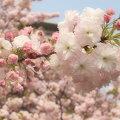 Photos: 004_造幣局通り抜け