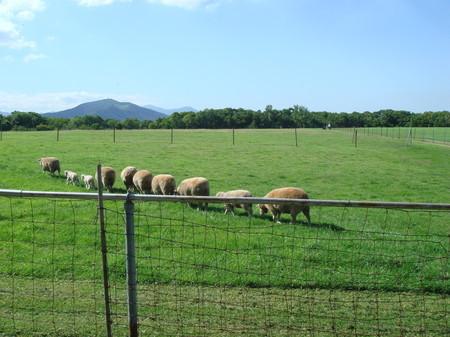 札幌羊ヶ丘の羊たち(2)