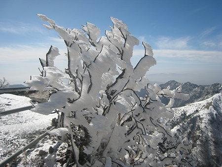大きく成長した霧氷
