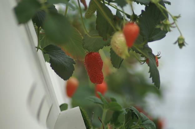 写真: 苺さん