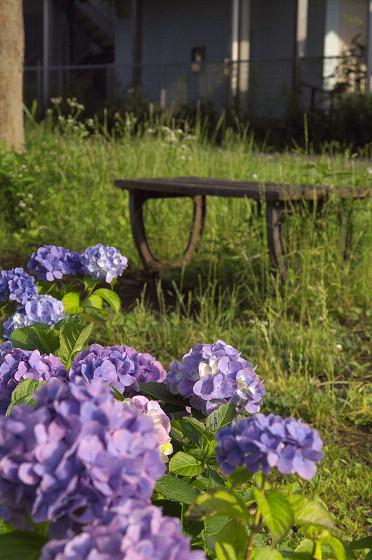 写真: 紫陽花 ご近所編 10