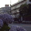 写真: 紫陽花 ご近所編 13