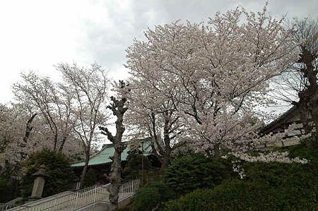 妙法寺の桜 01
